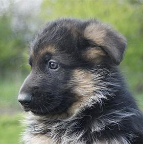 Puppytest Duitse Herder