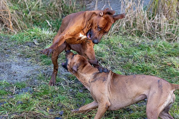Hond hond agressie
