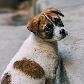 Roemeense puppy