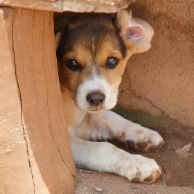 Angstfasen puppy