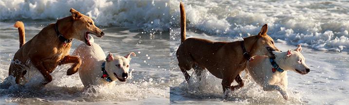 Honden bijten elkaar